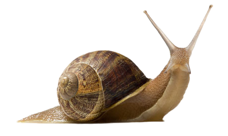 Snail PNG Pic